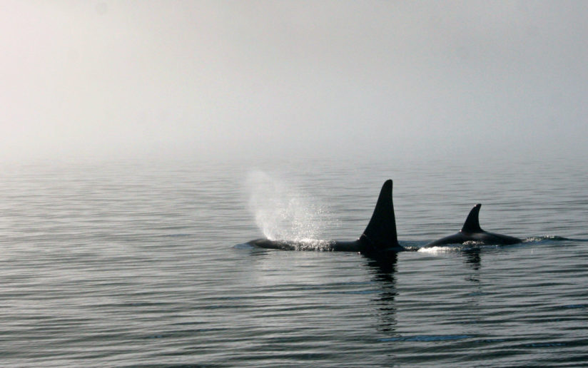 Orca in the Mist