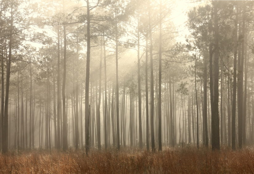 Foggy Pine Savanna