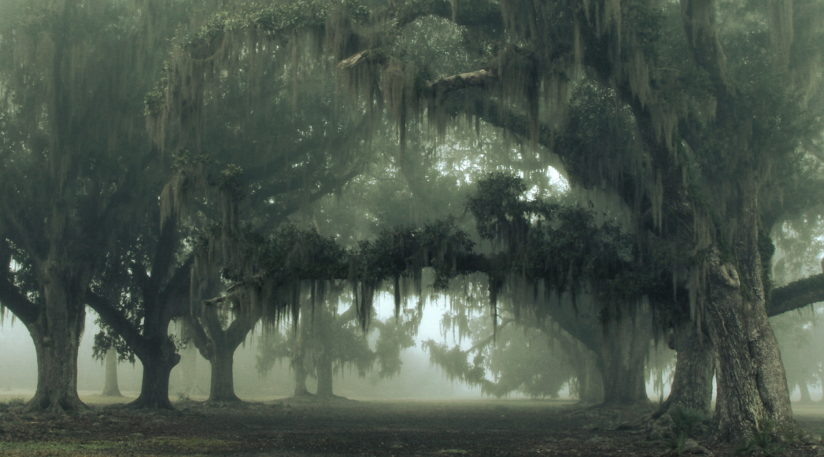 Foggy Old Oaks