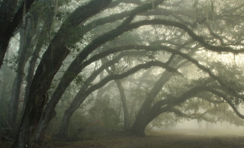 Curving Oaks in Fog