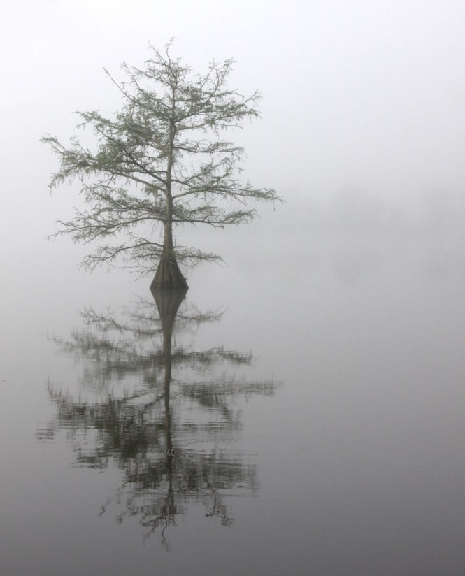 Cypress in Fog