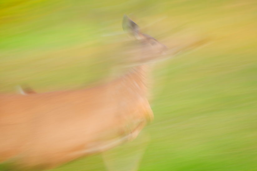 Deer On the Run