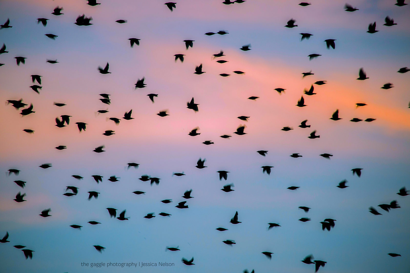 Grackles Fly