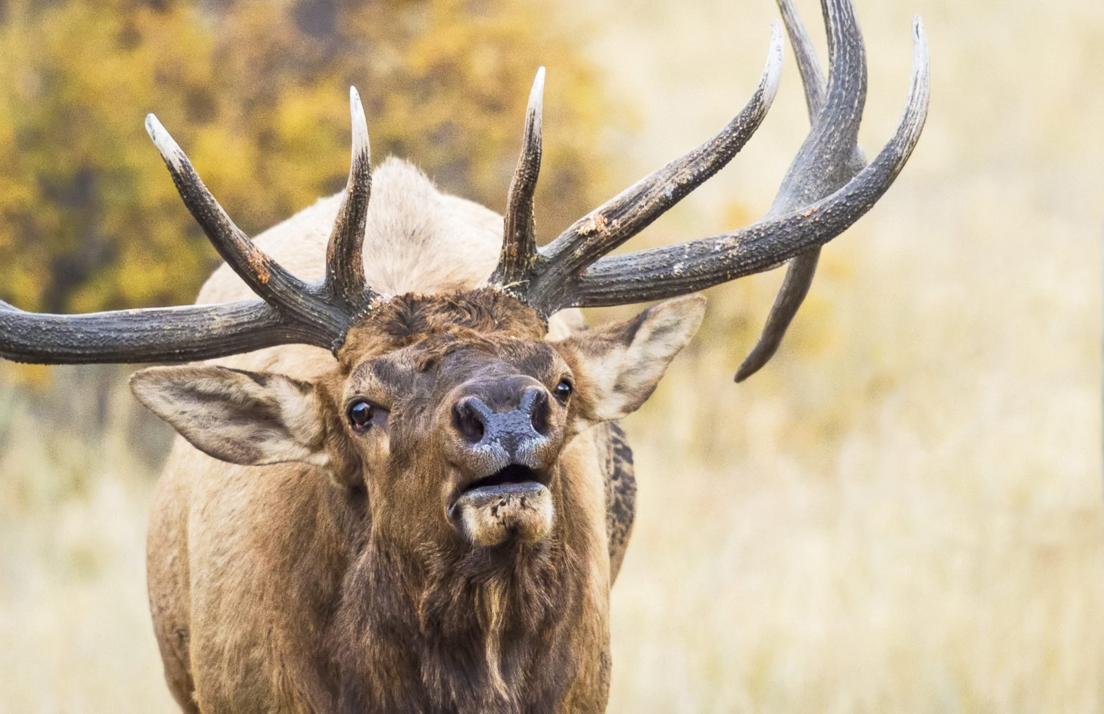 Bugling Elk in Fall
