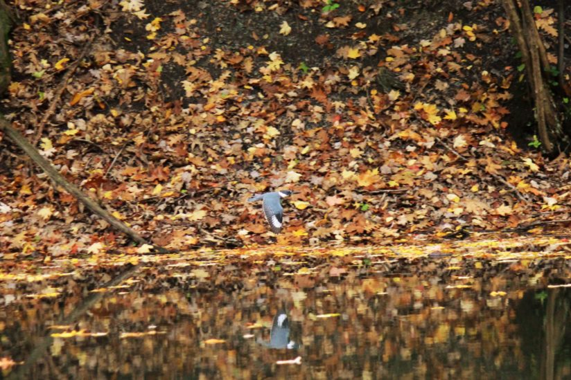 Belted Kingfisher on the Move