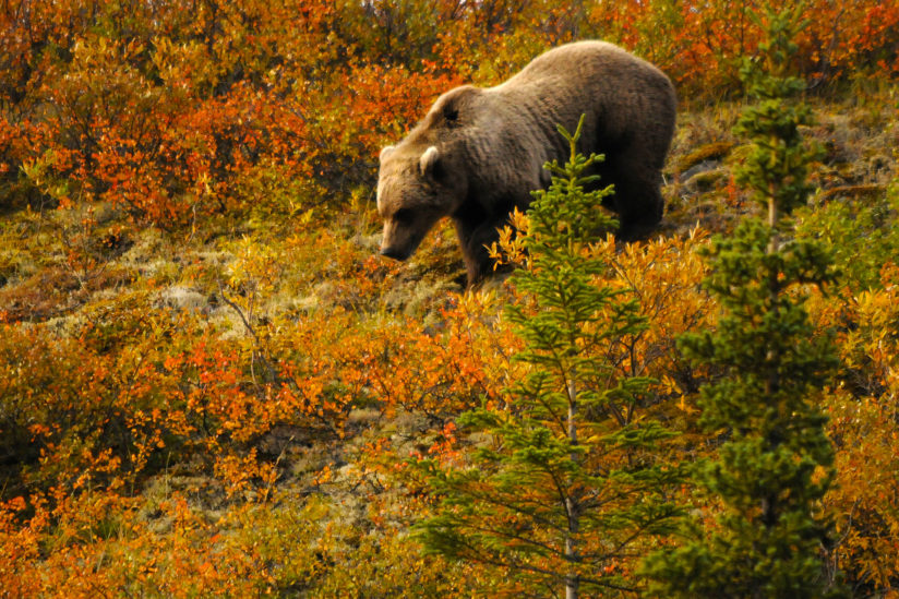 Grizzly on the Taiga