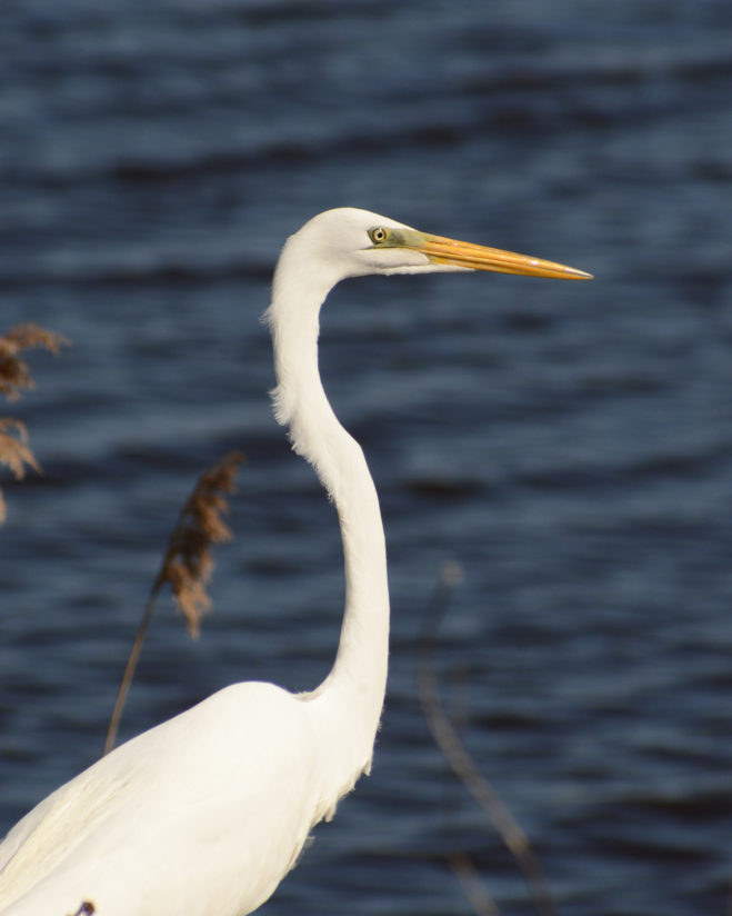 Great White Egret at Bombay Hook