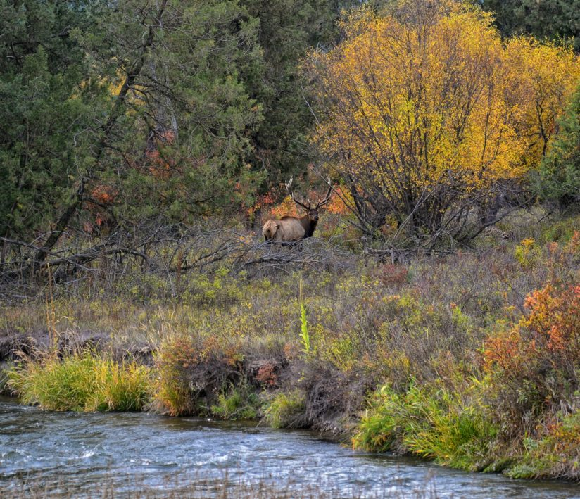 Wapiti in Fall Foliage