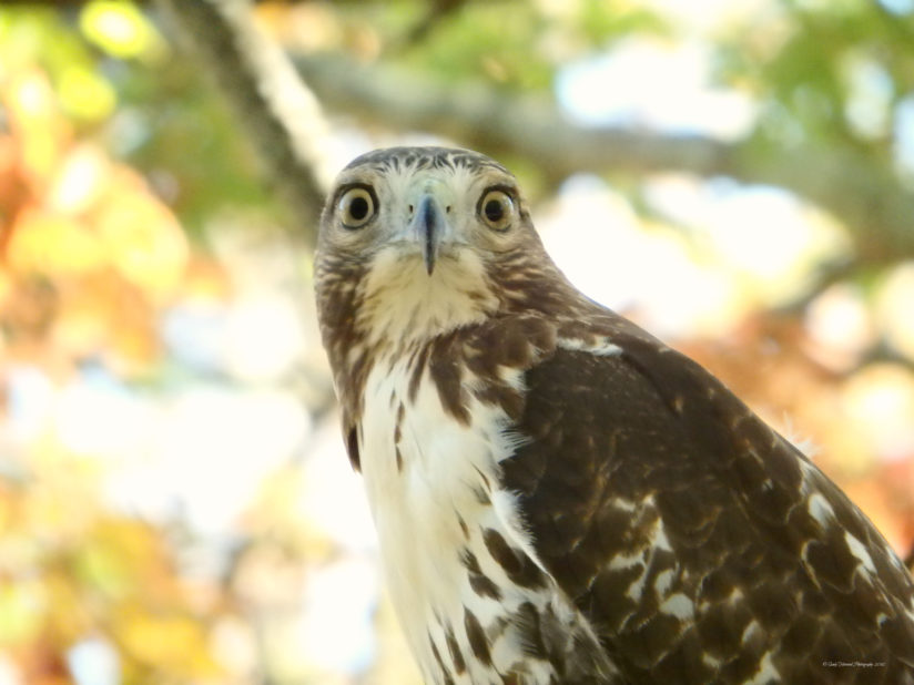 Hawk ready for close-up