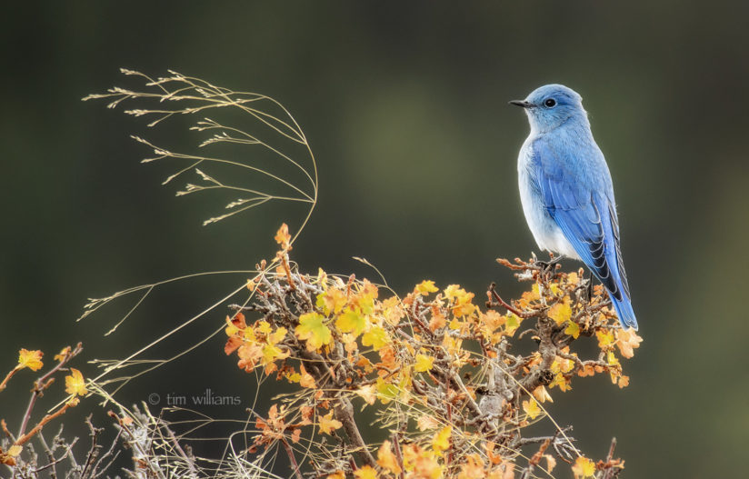 Mountain Bluebird in Autumn
