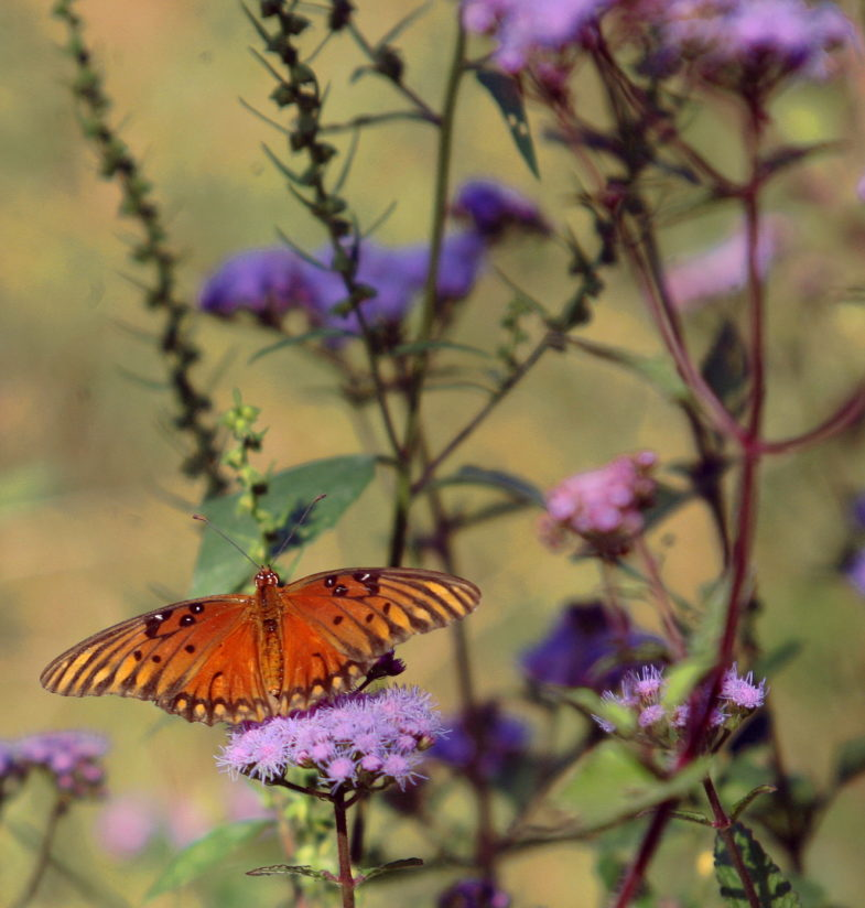 Gulf Fritillary on Mistflower