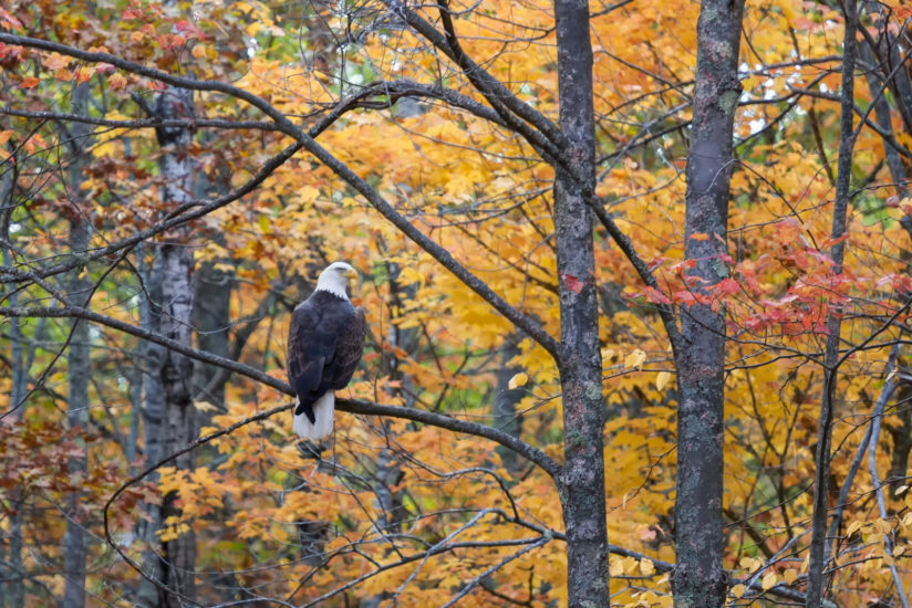 Bald Eagle and Northwoods Color
