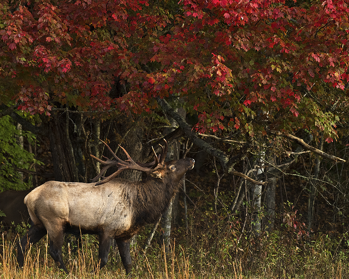 Bull Elk, Beautiful Fall Colors, Cataloochee, Great Smoky Mountains National Park
