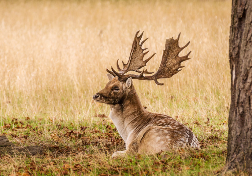 Young Buck Resting