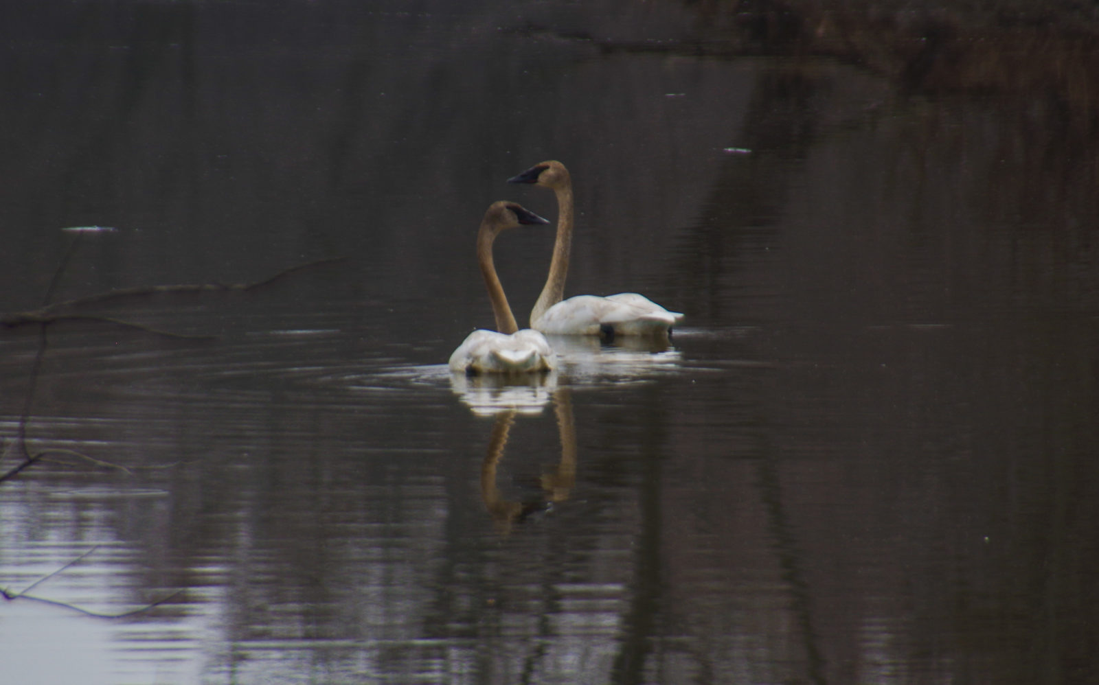 trumpeter swans at Port Louisa