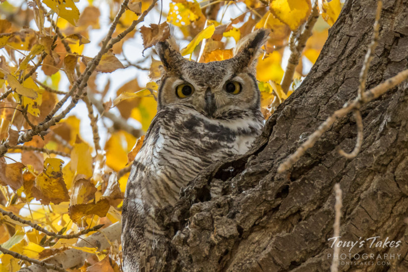 Great Horned Owl in the fall colors