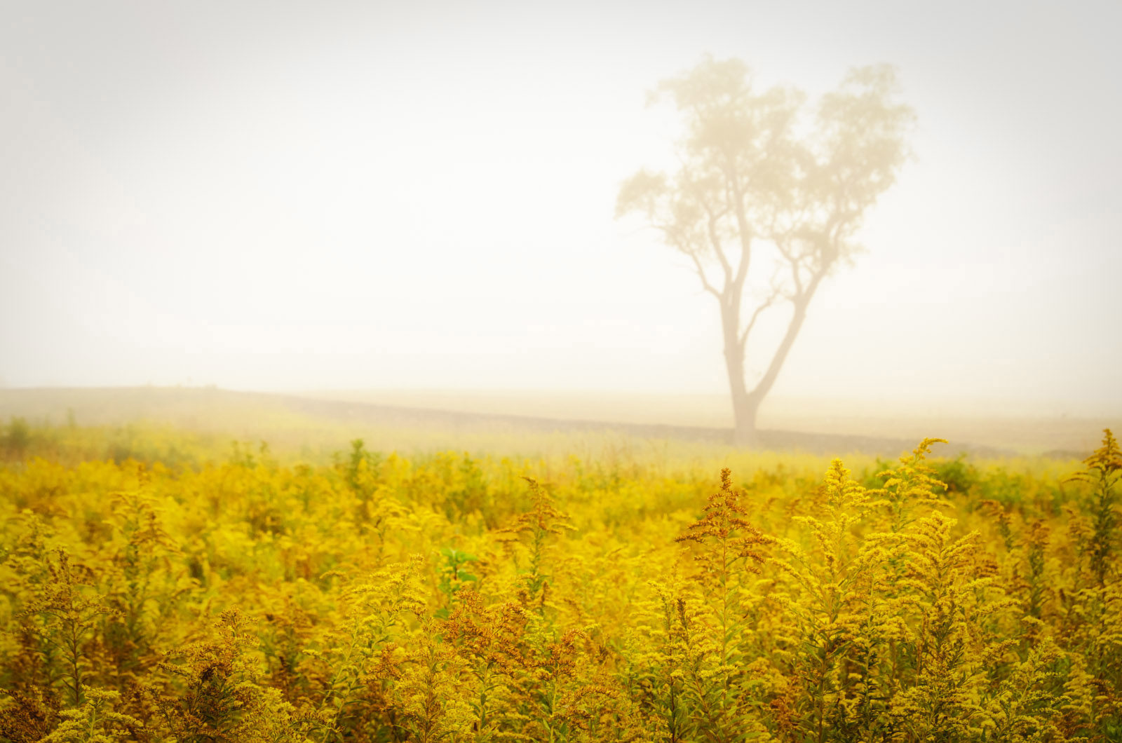 Dreams of Goldenrod and Fog