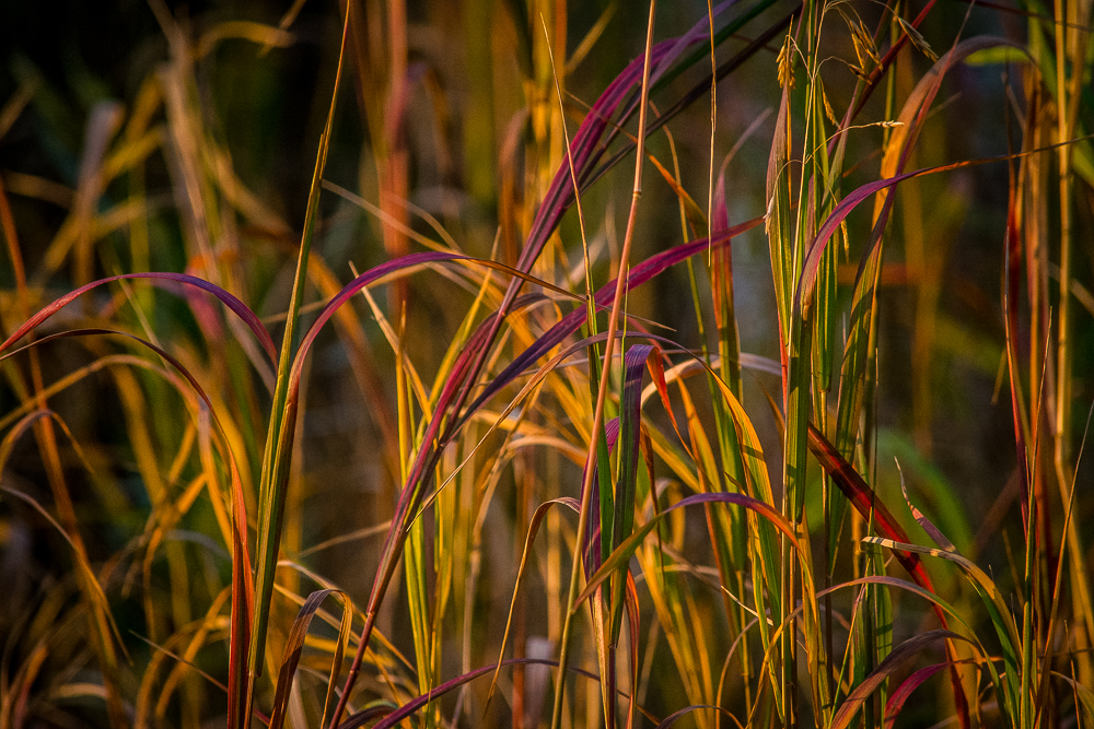 Fall colored grass