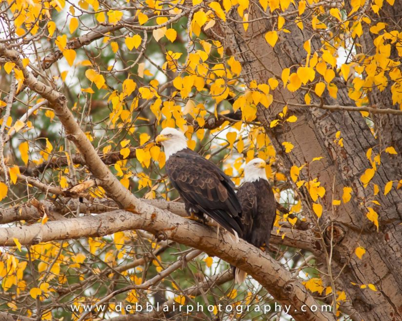Fall Eagles