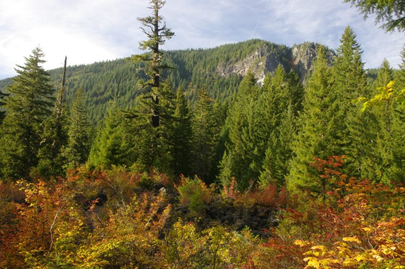 Vine Maples and Douglas Fir trees along the trail to Proxy Falls