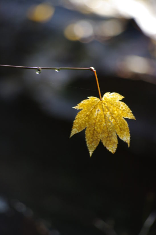 The last Vine Maple leaf hanging in the sunlight