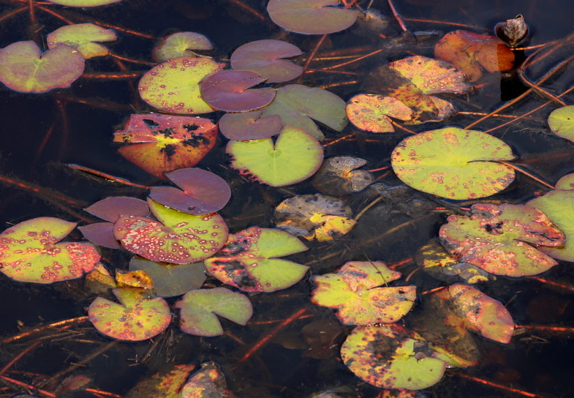 Autumn Lily Pads