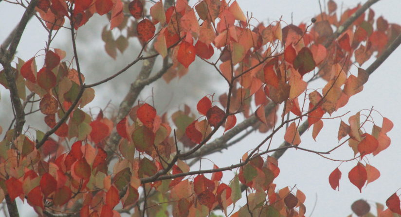 Chinese Tallow in Autumn Fog