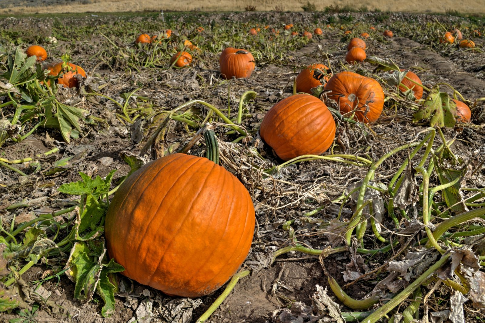Pumpkins Equal Autumn