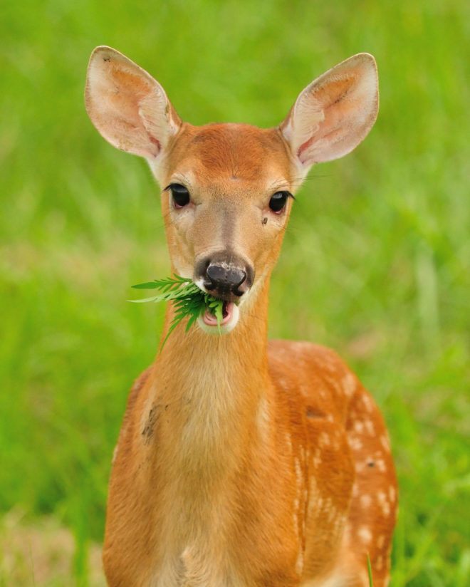 Chewing Fawn