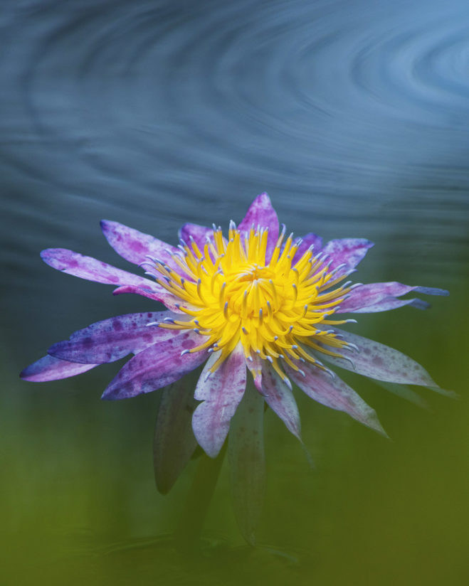 Water Lily in a Dream