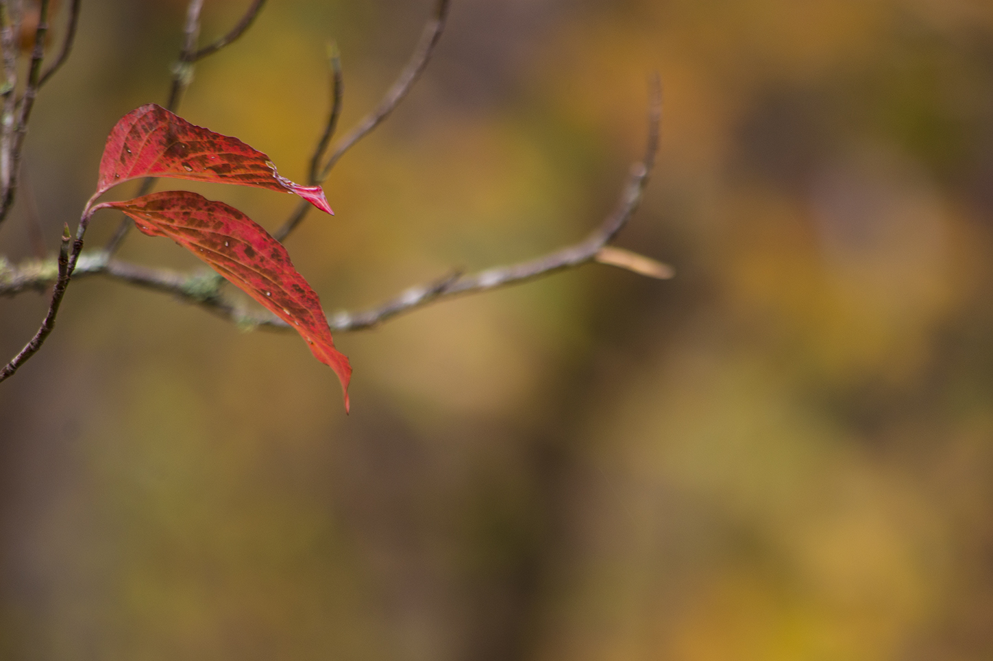 Red Autumn Dogwood Leaves