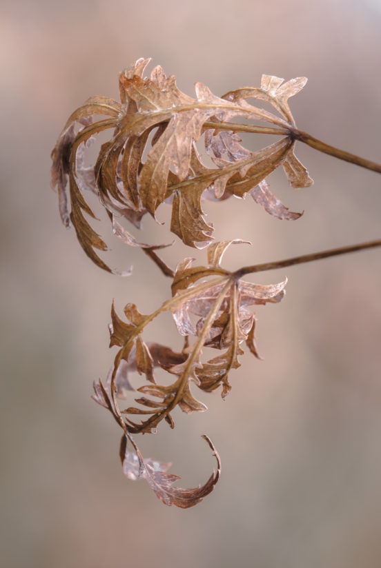 Dried beauty