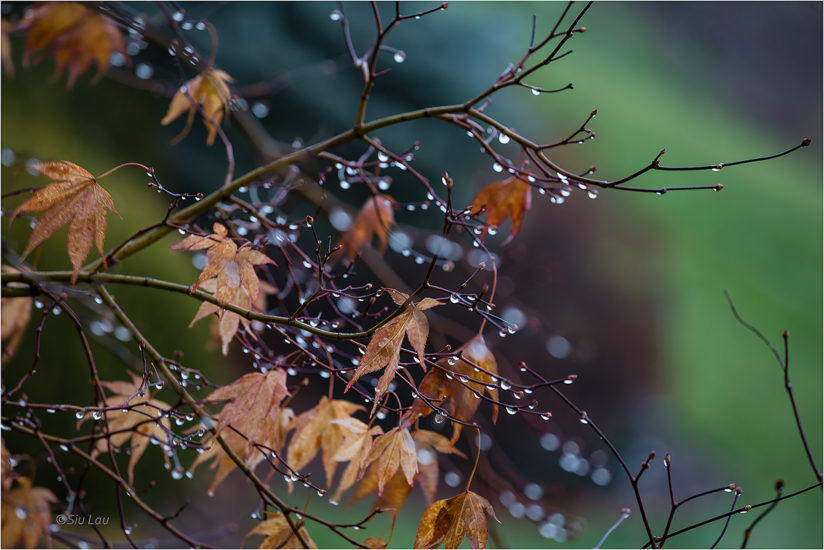 Rain drops on maple tree