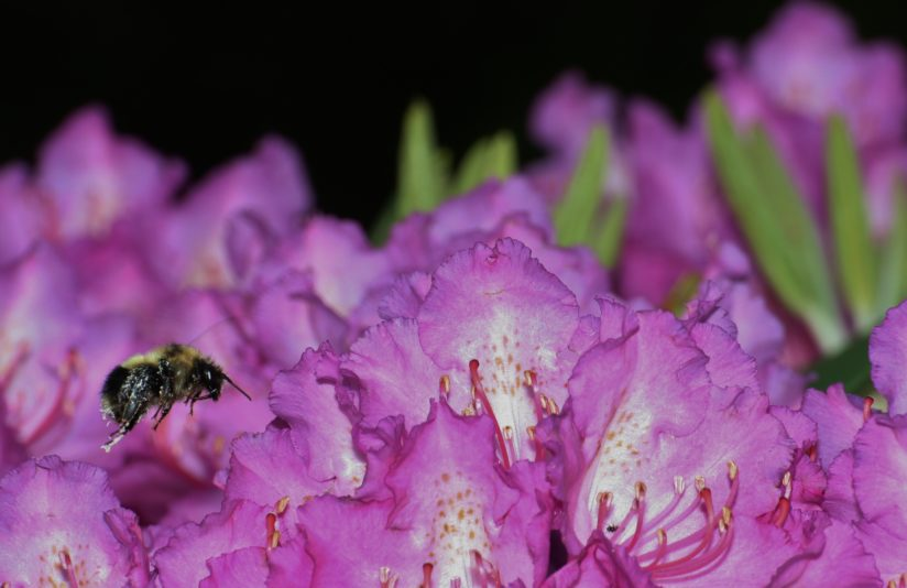 Bumble bee on rhododendron
