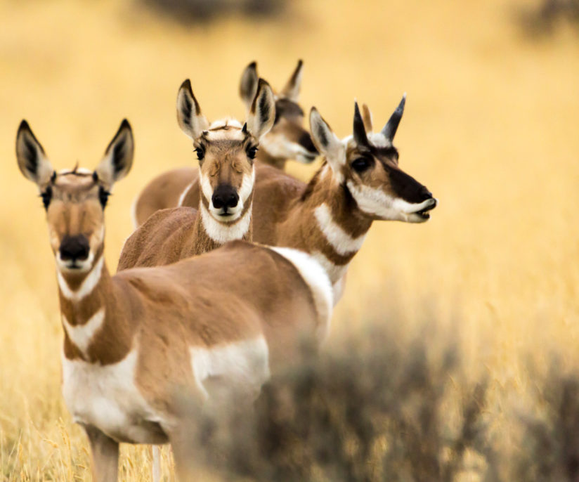 Pronghorn Curiosity