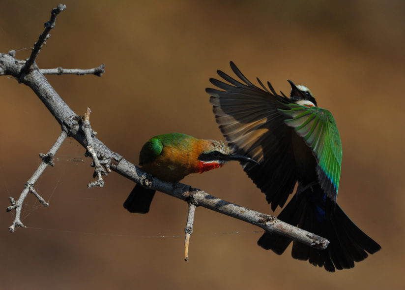 Angry Bee Eater