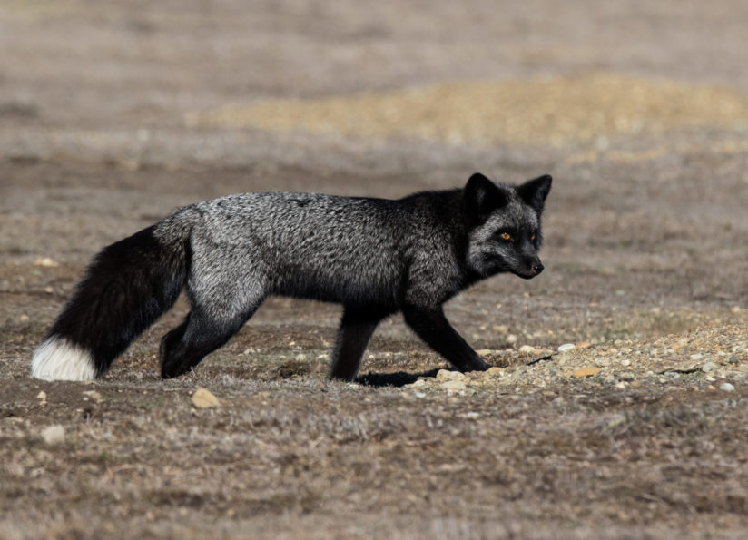 Silver Fox on the Hunt