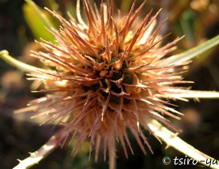 autumn thistle