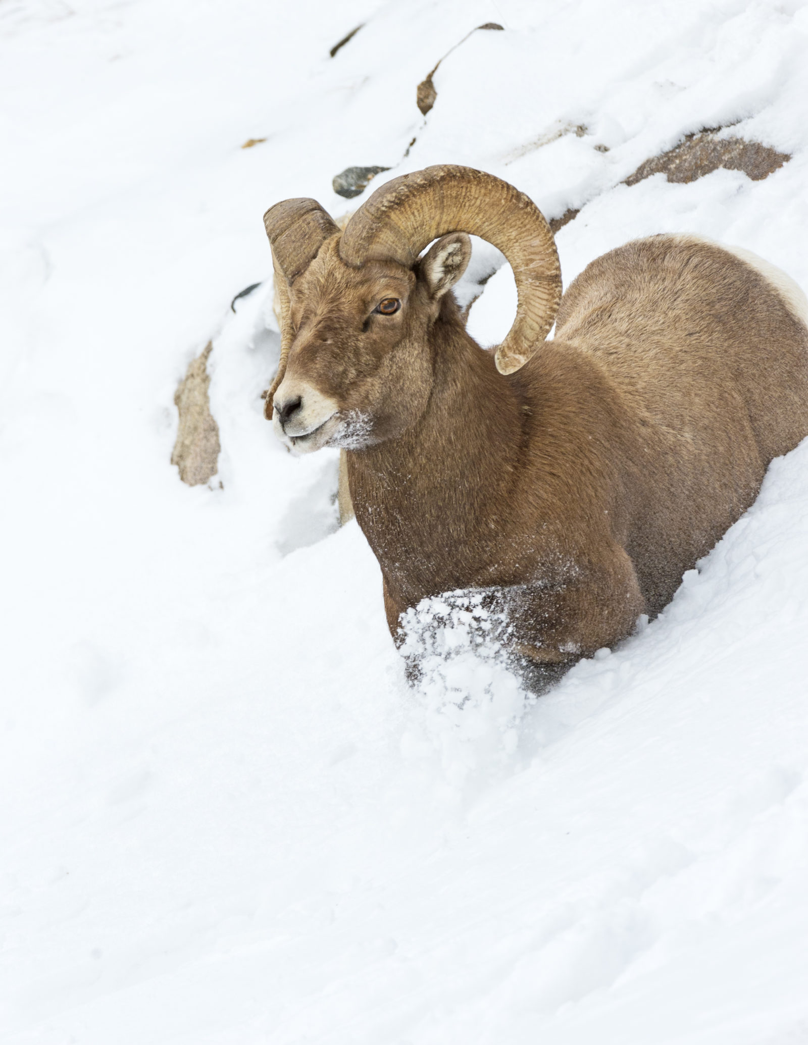 Ram in the Snow