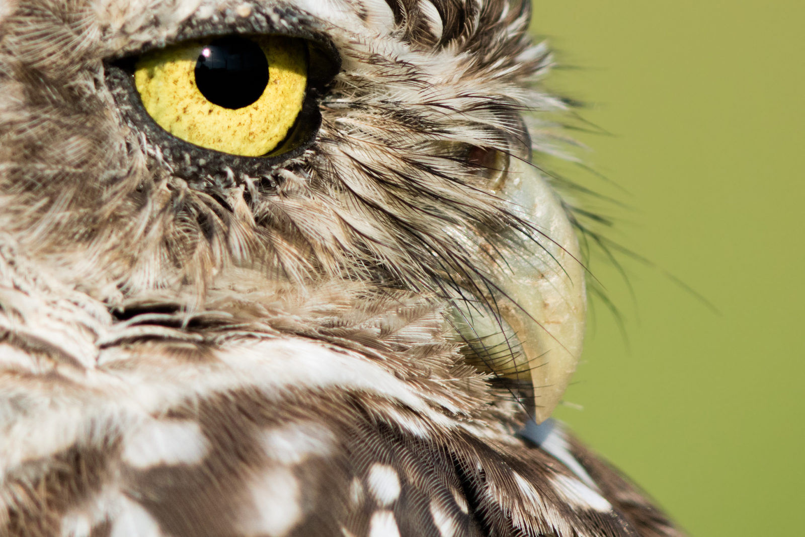 Burrowing Owl Up Close & Personal