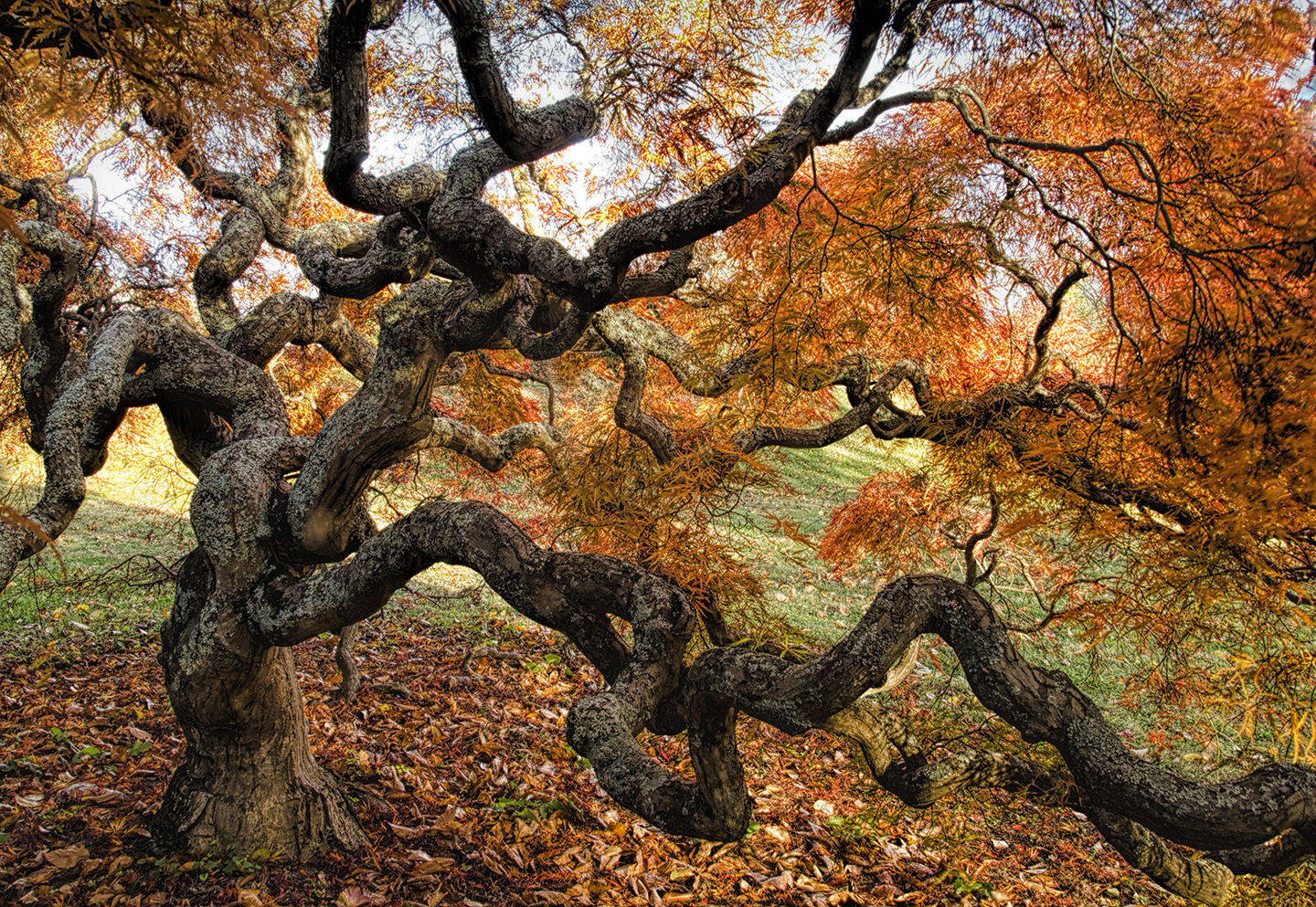 Ancient Japanese Maple