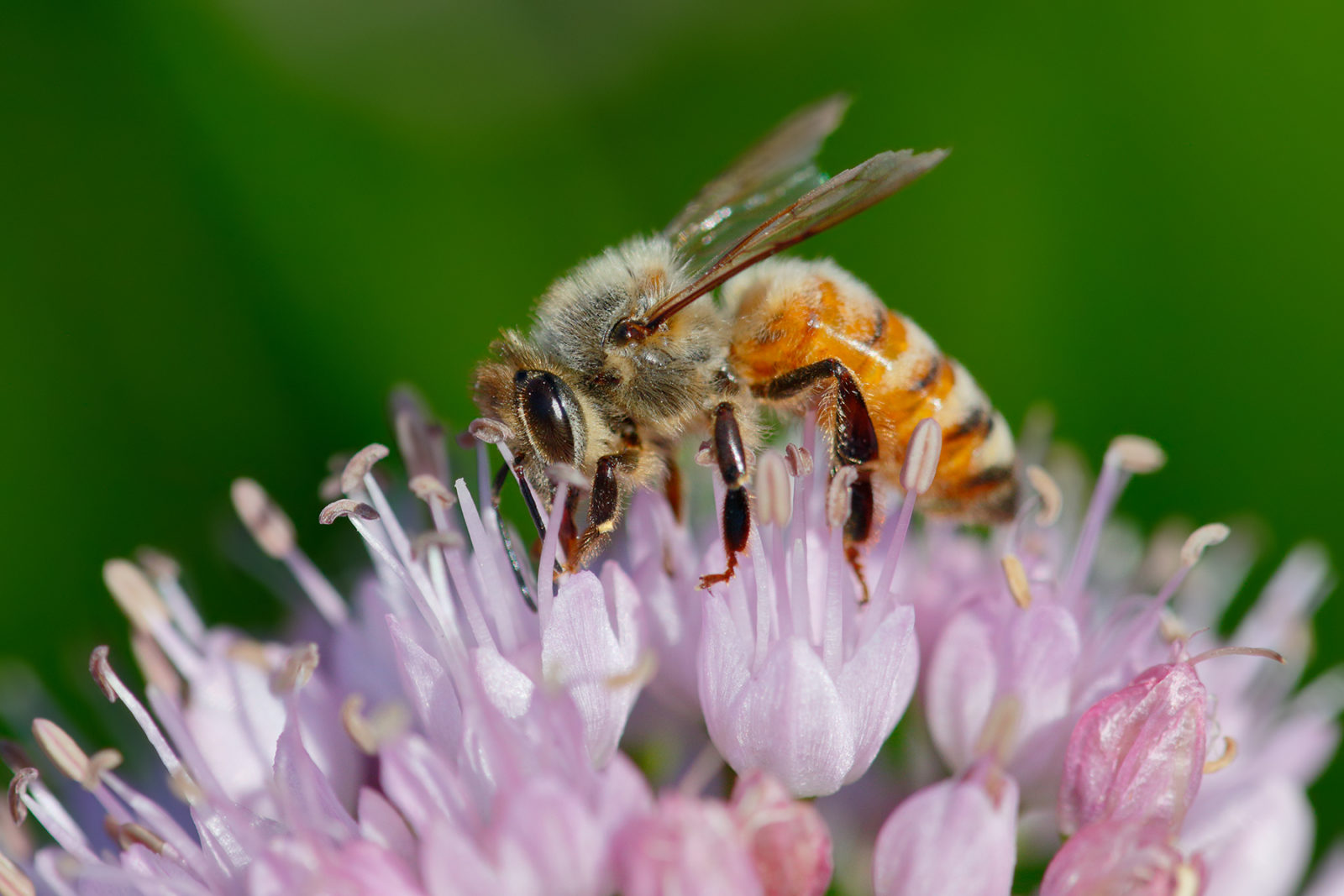 Honey bee on Chives flowers