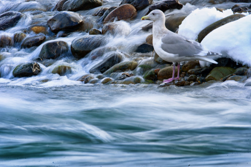 Fast Water Slow Gull