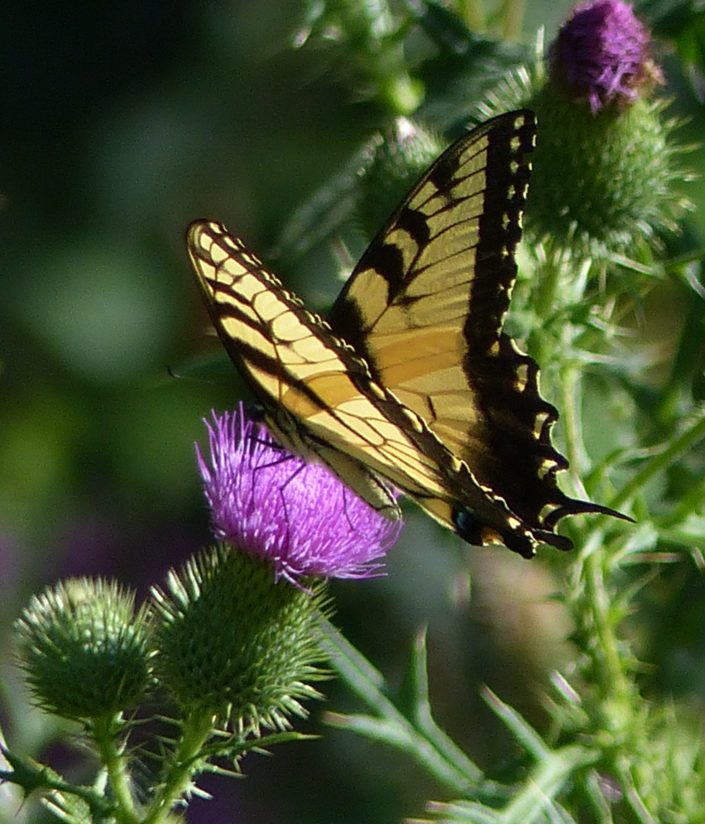 Yellow Swallowtail on Thistle