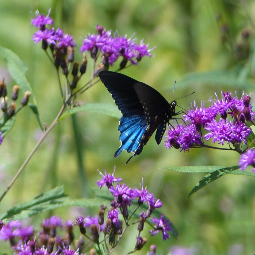 Pipevine Swallowtail Butterfly on Ironweed