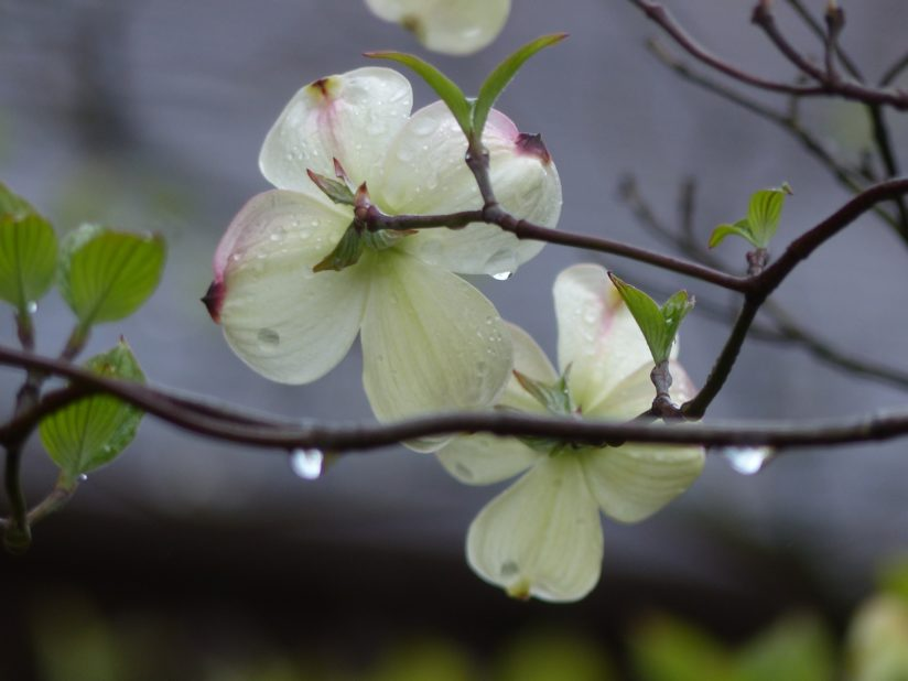 Dogwood Blossoms After the Rain