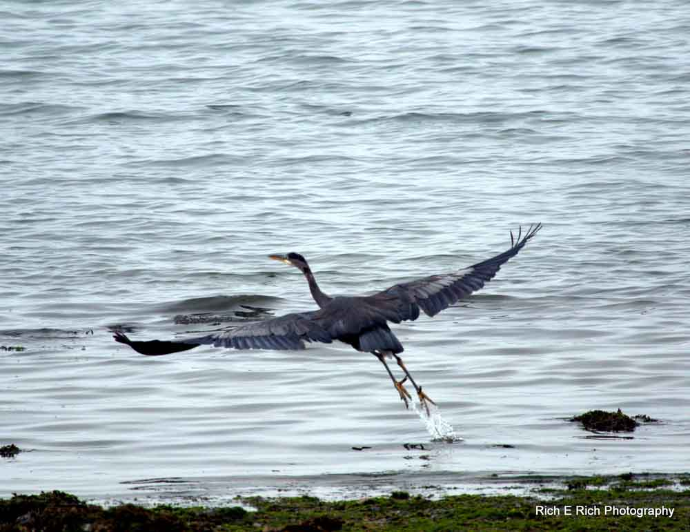 Blue Heron taking off in flight