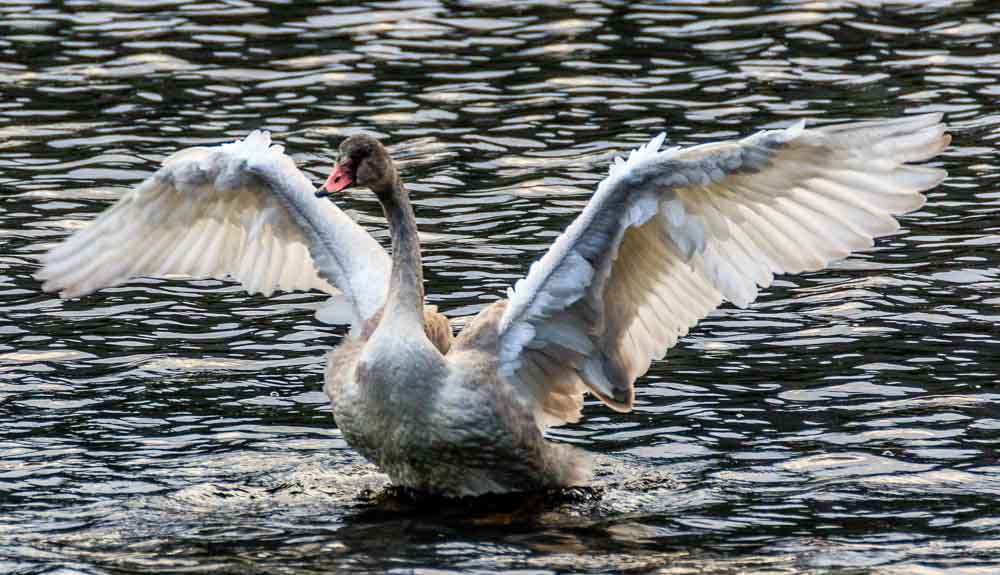 Cygnet Swan stretching wings