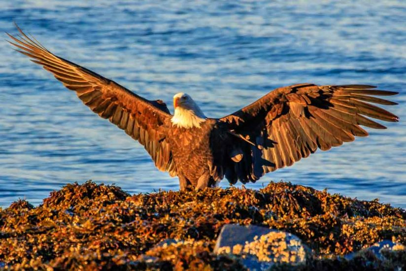 Bald Eagle in Sun