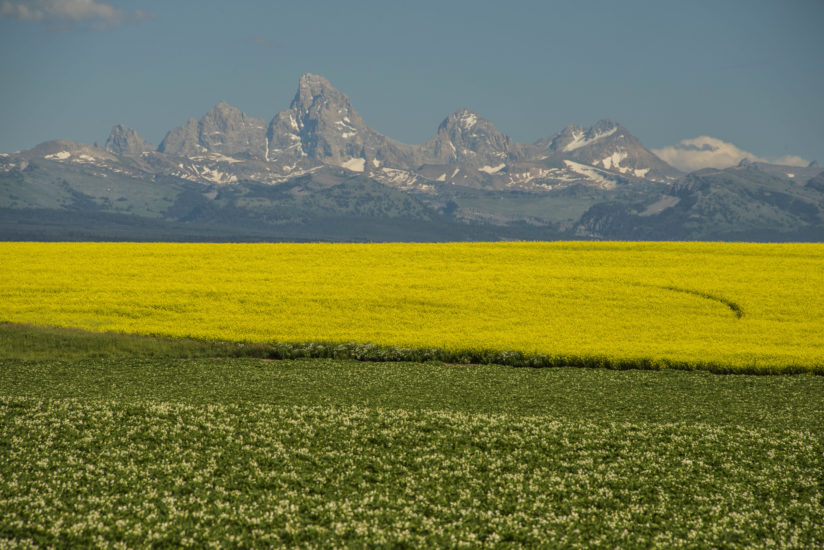 Canola Fields and the Teton Range
